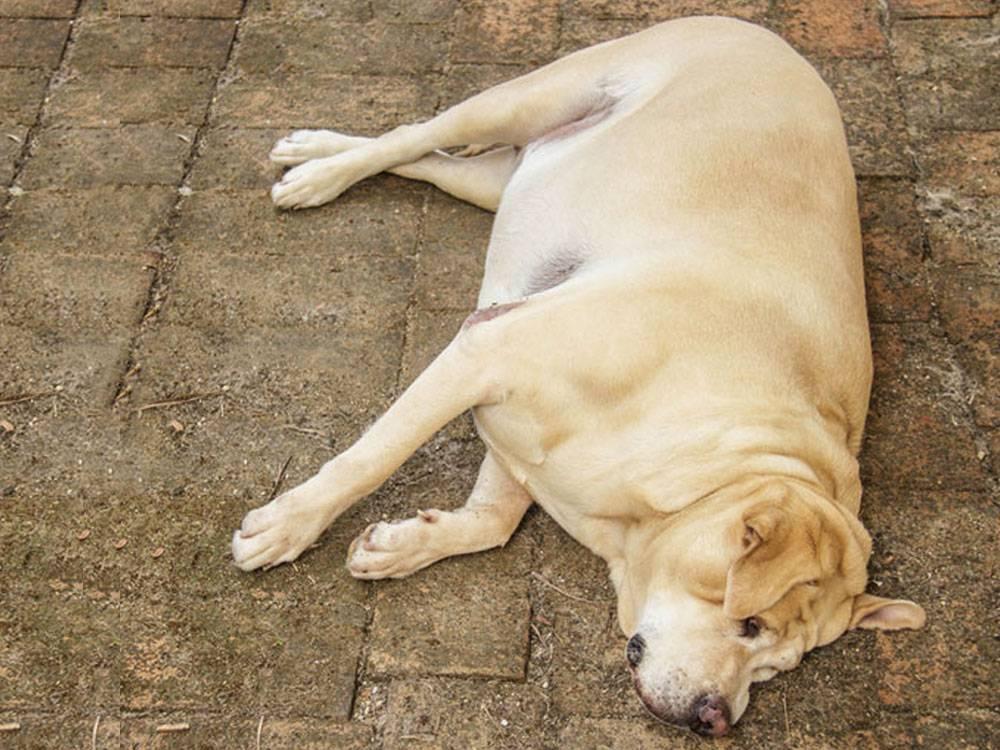 Причины, симптомы и лечение заворота (перекрута) желудка у собак, что нужно делать в этом случае