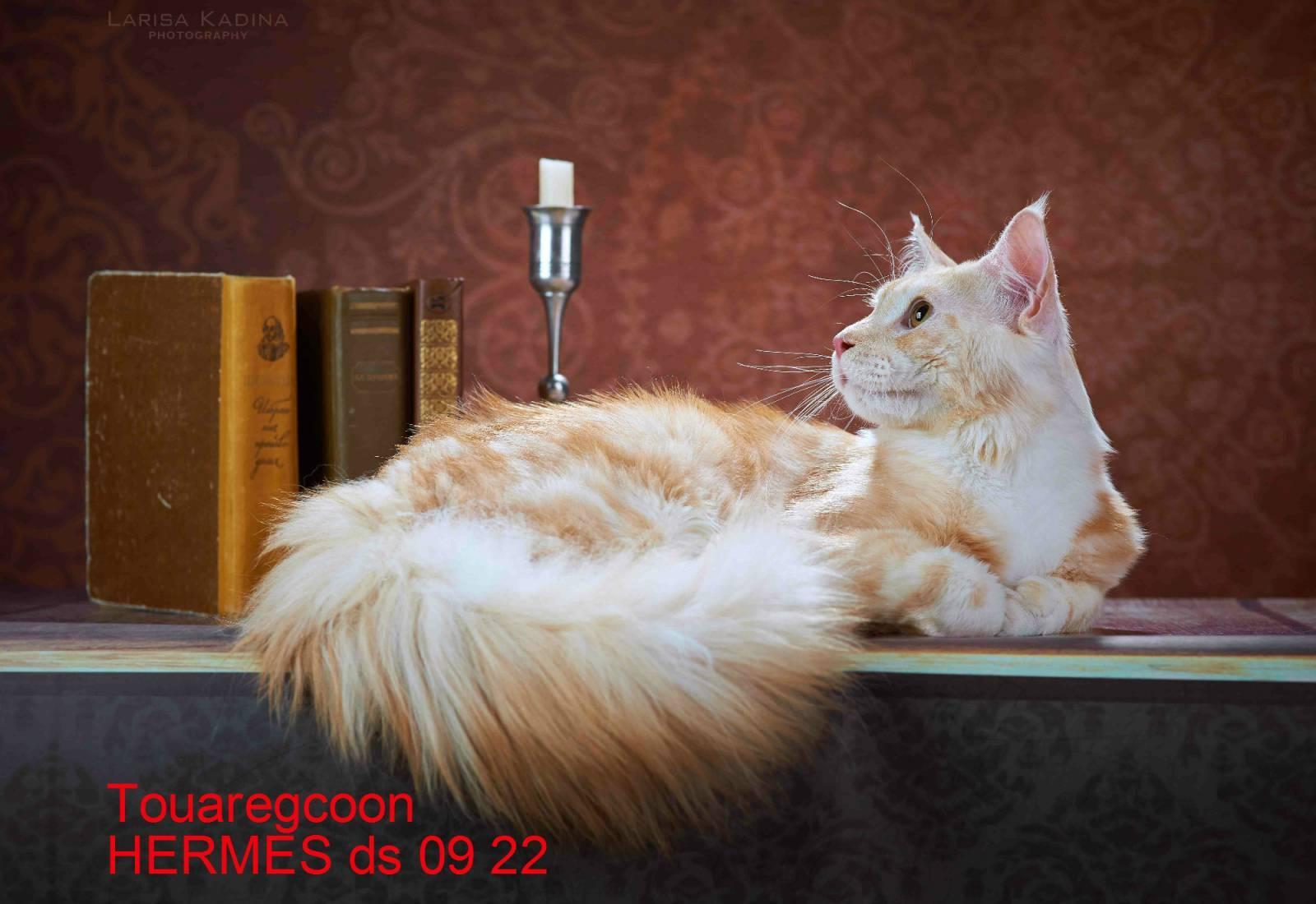 Чем отличается мейн-кун от обычной кошки