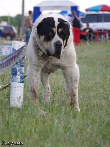 Среднеазиатская овчарка (алабай) — внешние данные, выбор щенка, содержание и уход, рацион питания, болезни собак + 74 фото