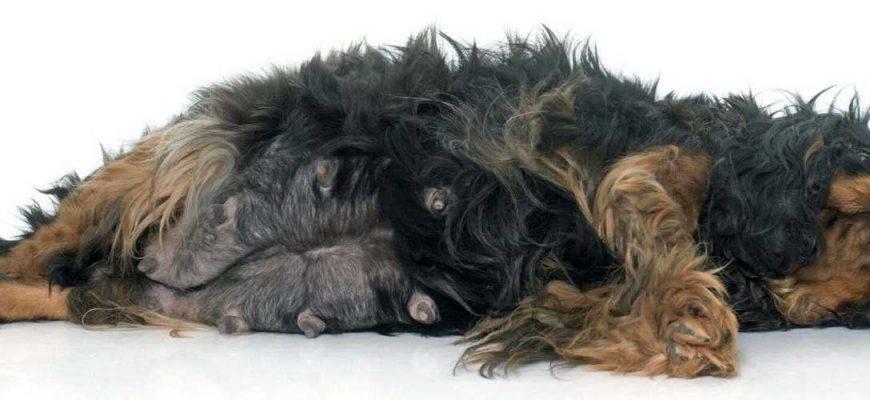 Роды у собак: признаки начала родов и этапы их протекания