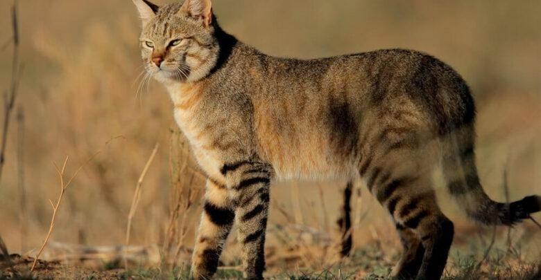 Дикаякошка felis libyca или дикий степной кот – прародитель всех домашних кошек