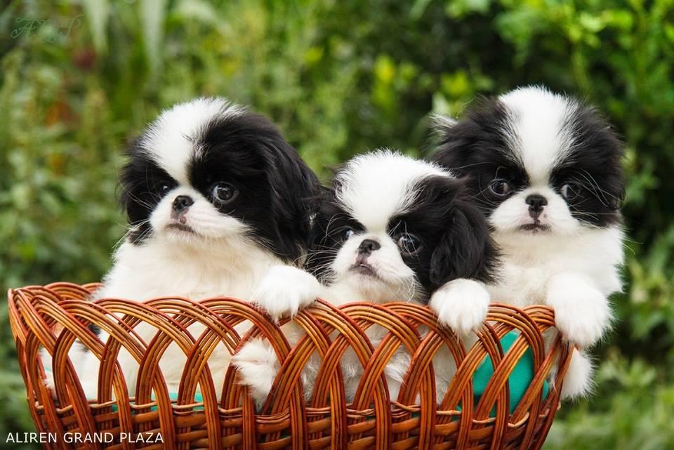 Японский хин: описание, фото, характер, особенности содержания и ухода за собакой