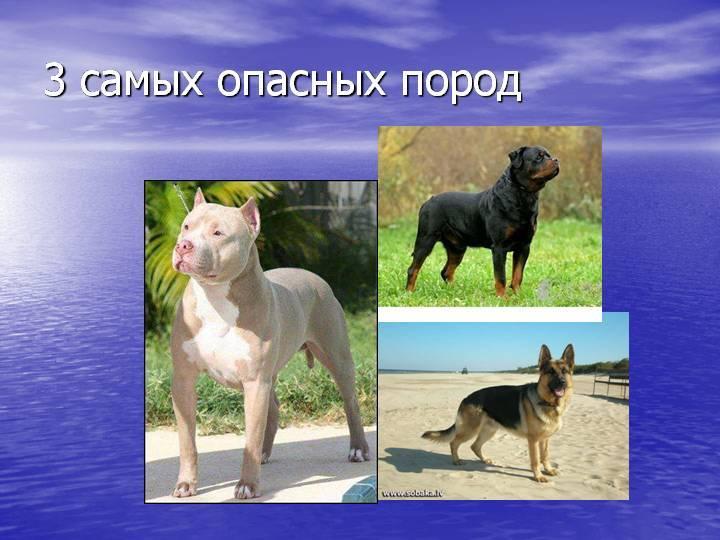 Самые злые собаки в мире: рейтинг опасных пород с описаниями и фото