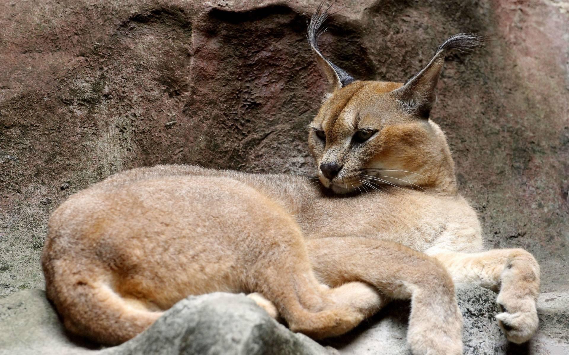 Самые большие породы домашних кошек: описание и характер гигантов, особенности содержания и ухода