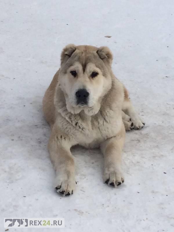 Как назвать щенка алабая мальчика или девочку: популярные клички больших собак, важность имени для кобелей среднеазиатских овчарок и сук этой породы