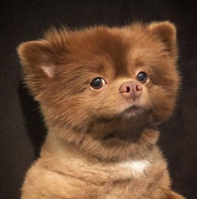 4 породы собак, похожих на медвежонка: фото, описание и стоимость