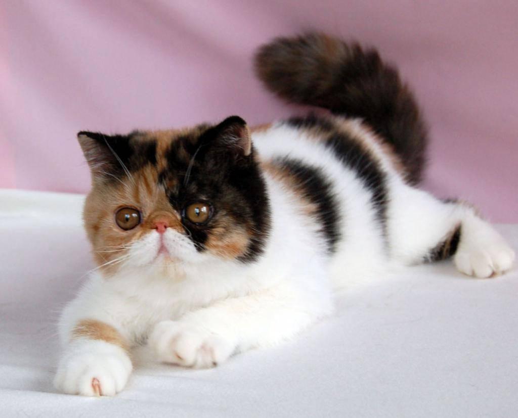 Экзотическая короткошёрстная кошка - фото и описание (характер, уход и кормление)