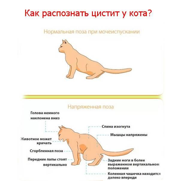 Основные болезни кошек и их симптомы