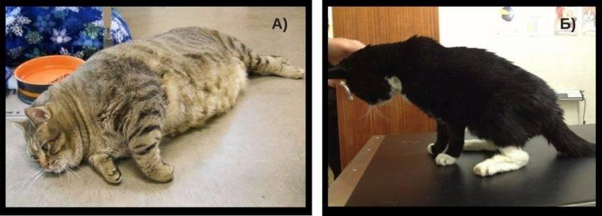 Обнаружен сахарный диабет у кошки: почему возник, как лечить и кормить животное