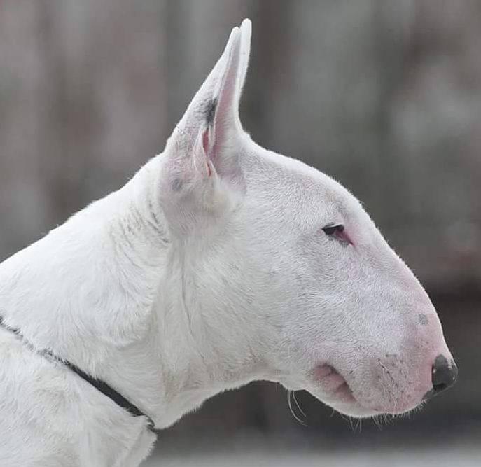 Какие породы собак относятся к бойцовским — список с названиями - женская жизньженская жизнь