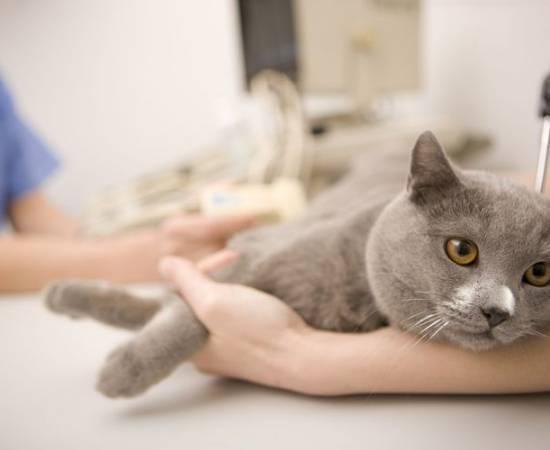 Неосложненный сахарный диабет (сд) кошек