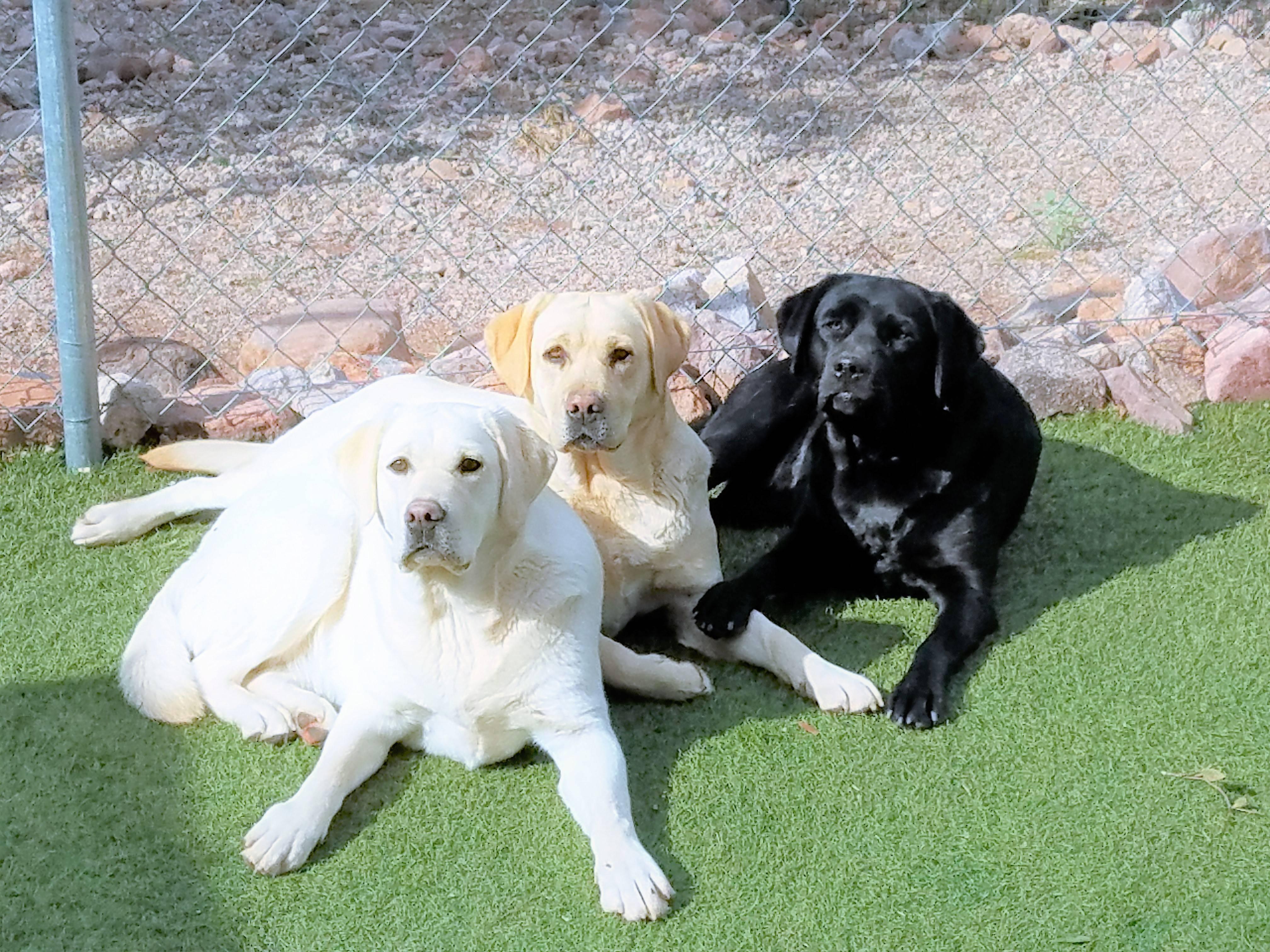 Порода собак похожая на лабрадора но меньше