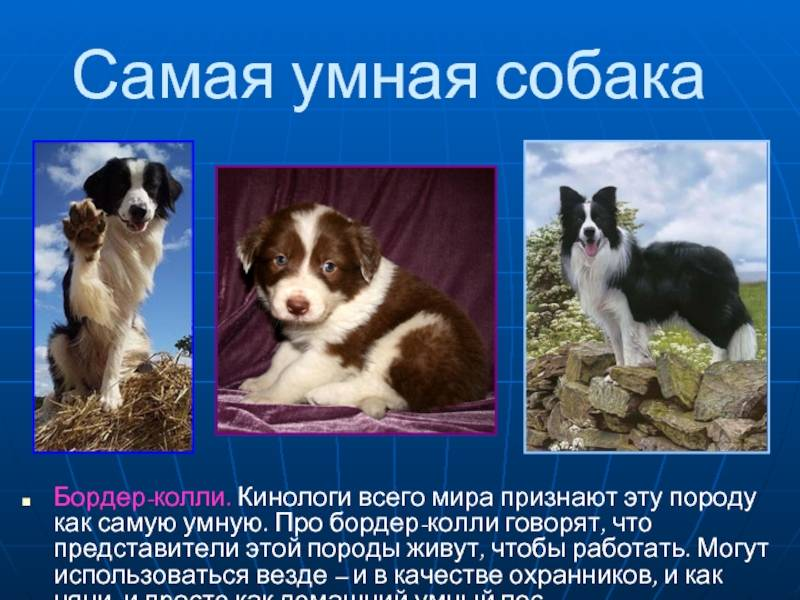 Самые умные породы собак топ 10: названия с описанием и фото