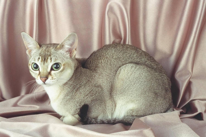 Редкие породы кошек с фотографиями и названиями, информация о них