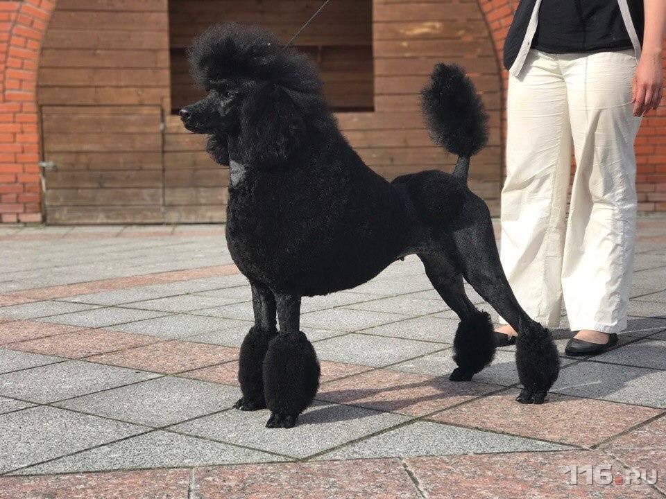 Пудель - 82 фото декоративно-выставочной породы собак