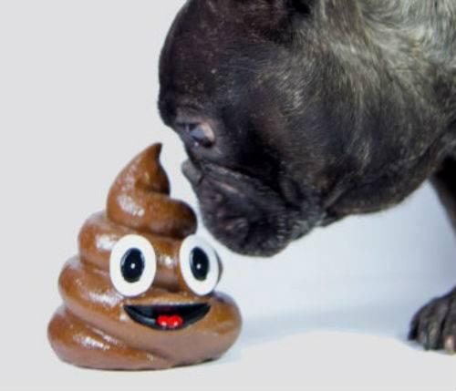 Собака ест свои экскременты: почему и что делать