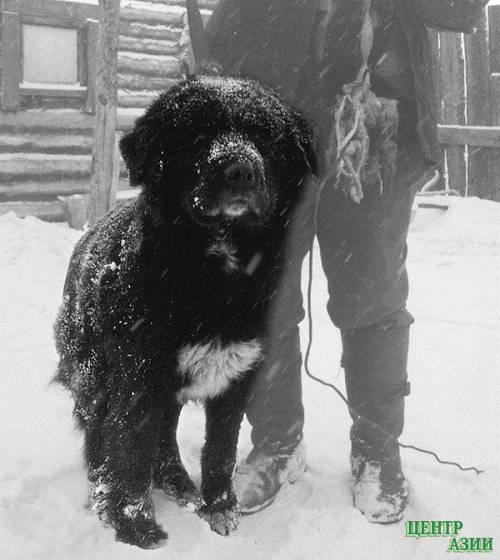 Бобтейл (староанглийская овчарка): фото, купить, видео, цена, содержание дома
