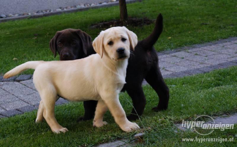 Окрасы лабрадоров (23 фото): описание собак серого и бежевого, серебристого, черно-белого и других цветов