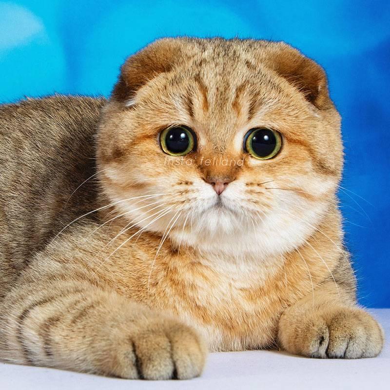 Сколько живут шотландские вислоухие кошки в домашних условиях – средний возраст животных