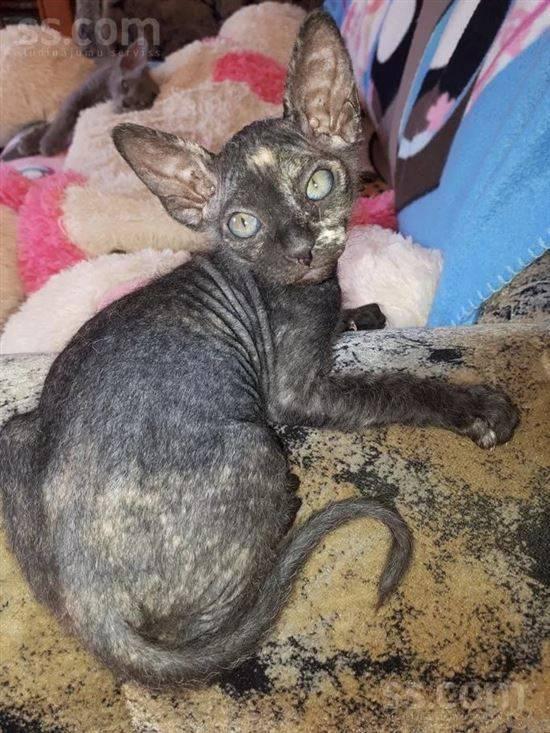 Смесь сиамской кошки с персидской