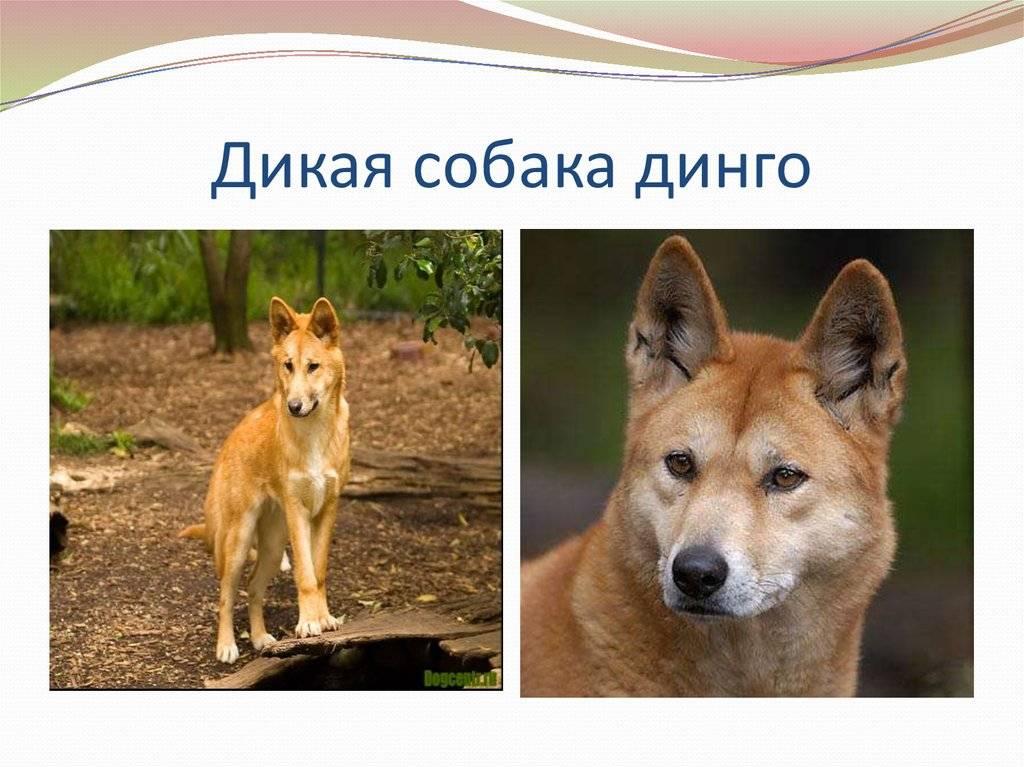 Собака динго: где живет, особенности и описание