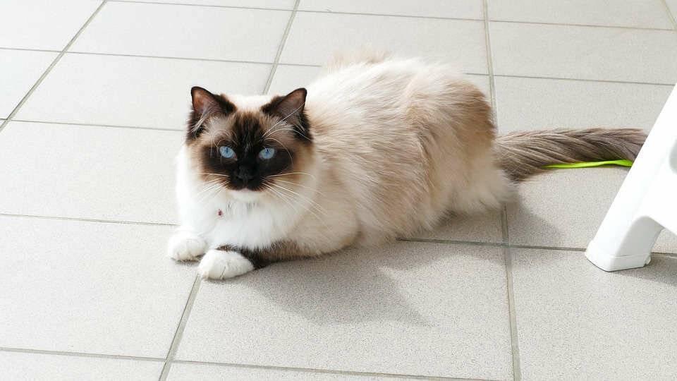 Рэгдолл: описание породы кошек, характер, отзывы (с фото и видео)