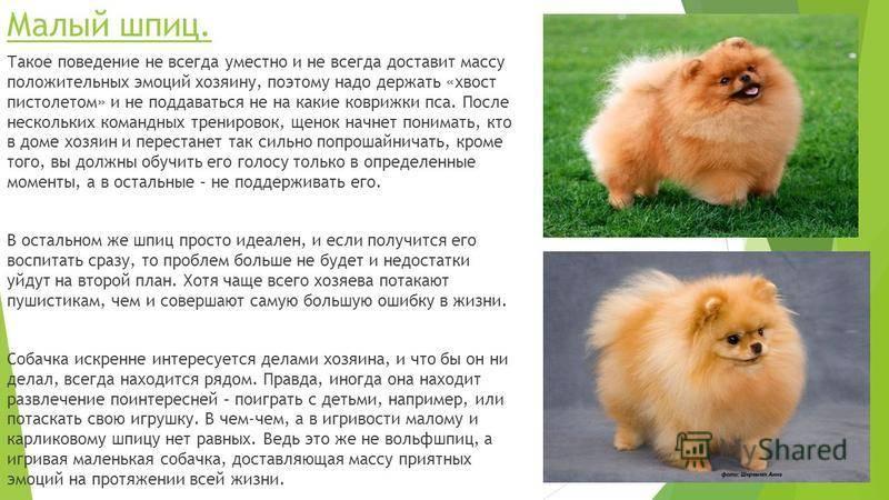 Померанский шпиц собака. описание, особенности, уход и цена померанского шпица