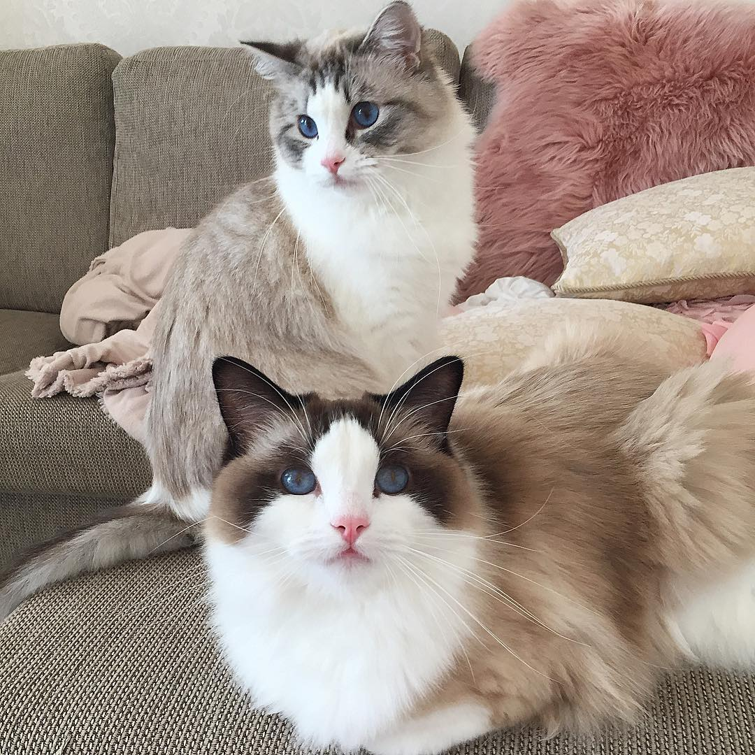 Рэгдолл: 100 фото, особенности, описание характера и свойств кошки