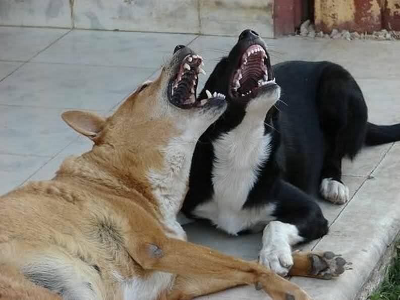 Почему собака воет по ночам, во дворе, на луну, на цепи: причины