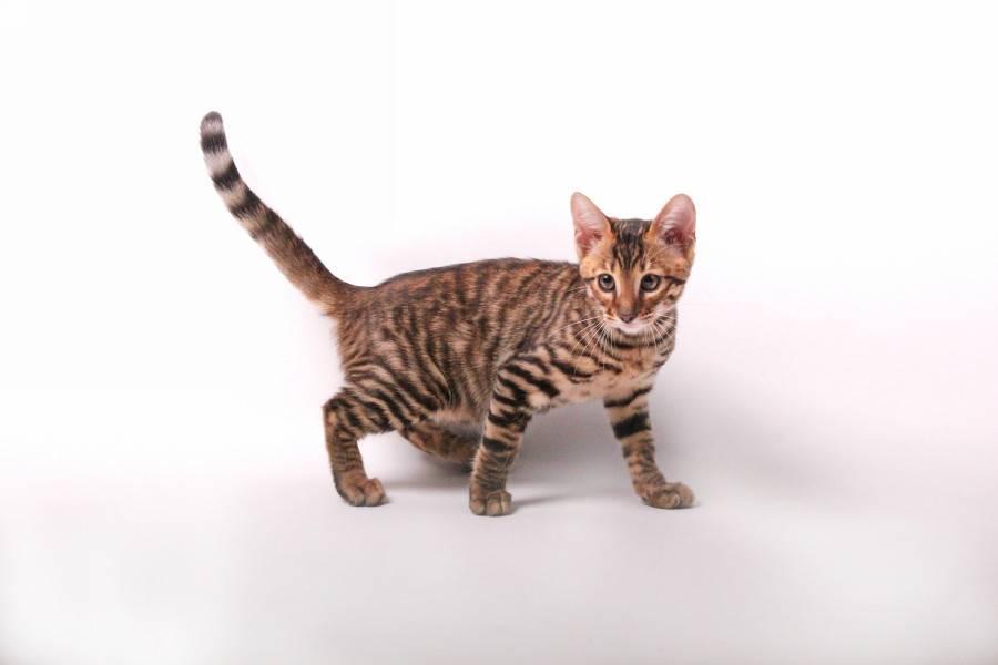 Кошка тойгер: описание породы, характер, цена, отзывы.
