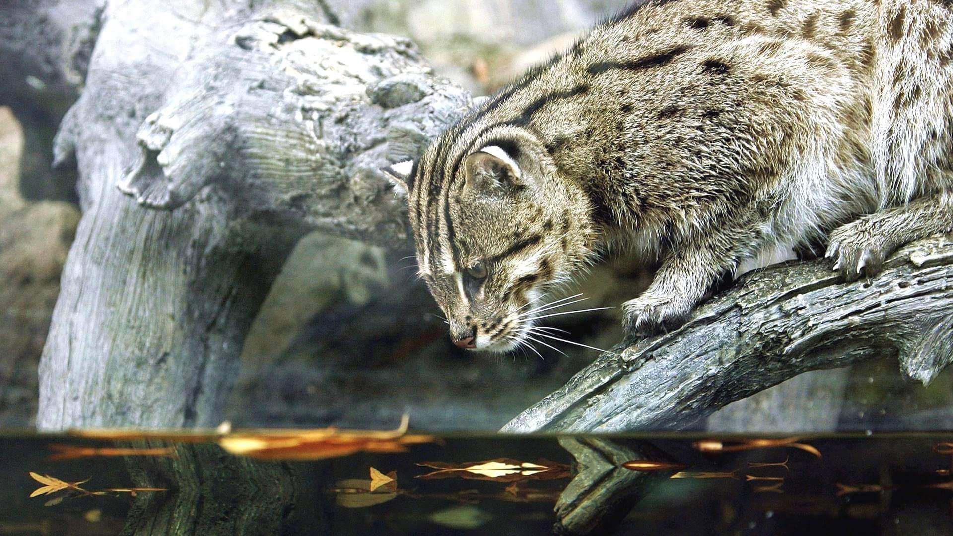 Виверровый кот рыболов - что за чудо?