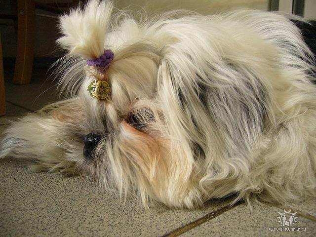 Метис болонки (18 фото): помесь породы с йорком и пуделем, скотч-терьером и чихуахуа, шпицем и пекинесом. как выглядят щенки болонки и цвергшнауцера?