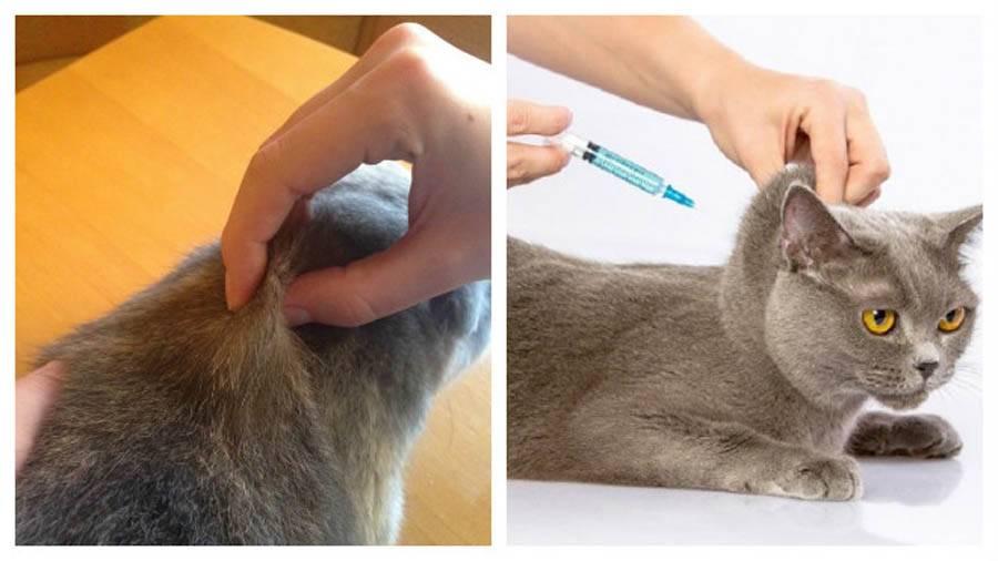 Как сделать укол коту внутримышечно или в холку