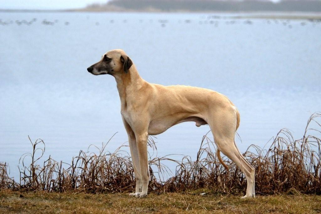 Виды борзых собак — фото и описание пород с названиями представителей