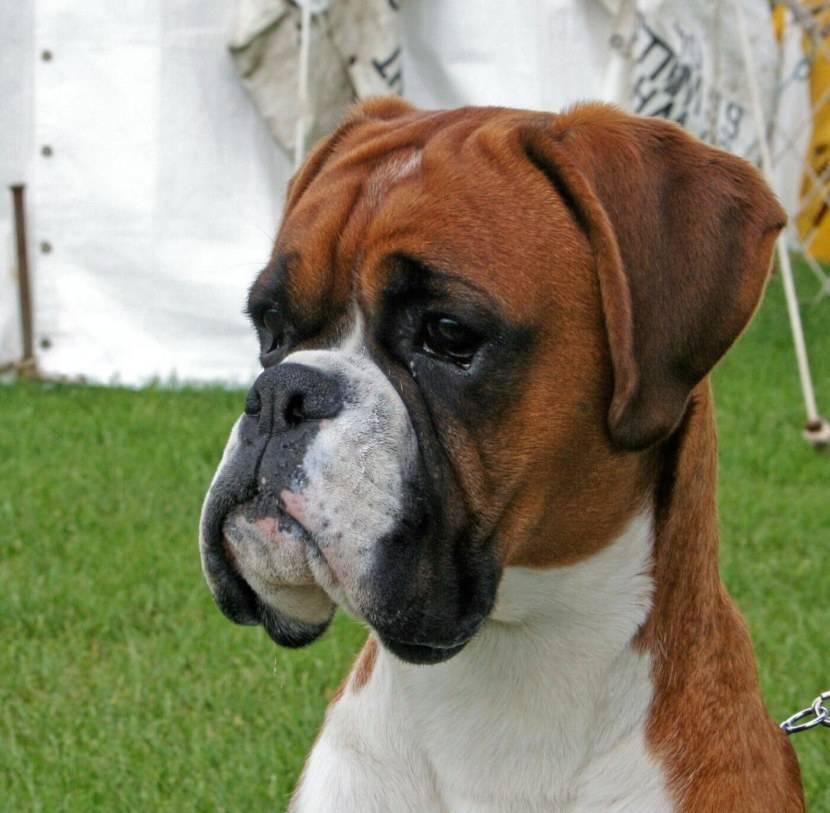 Немецкий боксер - порода собак: щенки, характер, описание