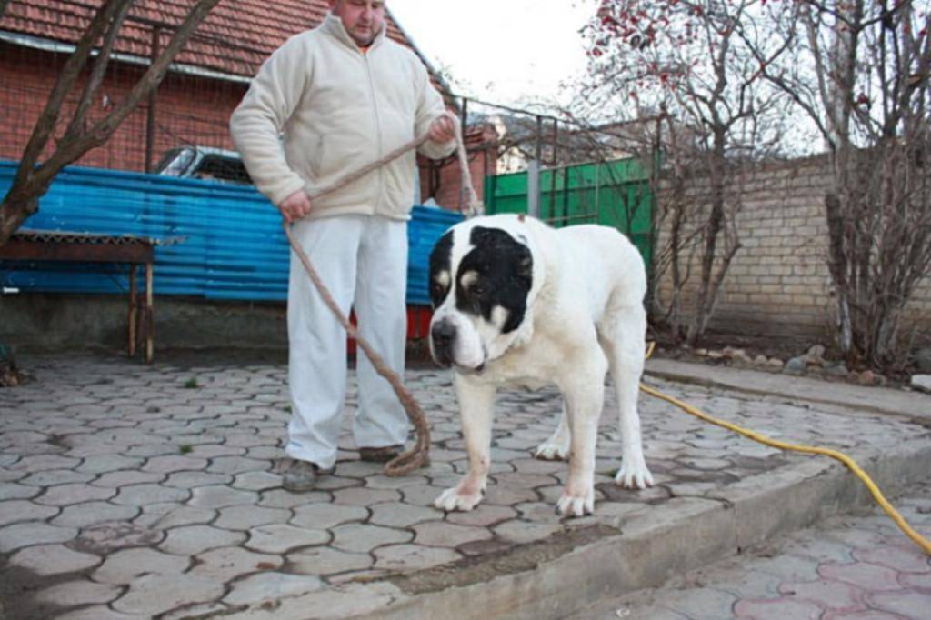 Алабай собака. описание, особенности, уход и цена алабая   sobakagav.ru