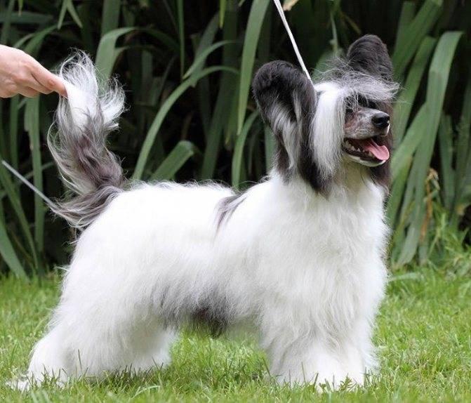 «китайские хохлатые – это собаки-кошки»