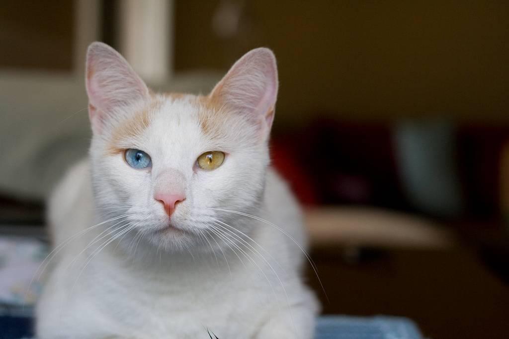 Анатолийская кошка (31 фото): описание котов анатолийской породы, характеристика котят серого и белого, рыжего и другого окраса
