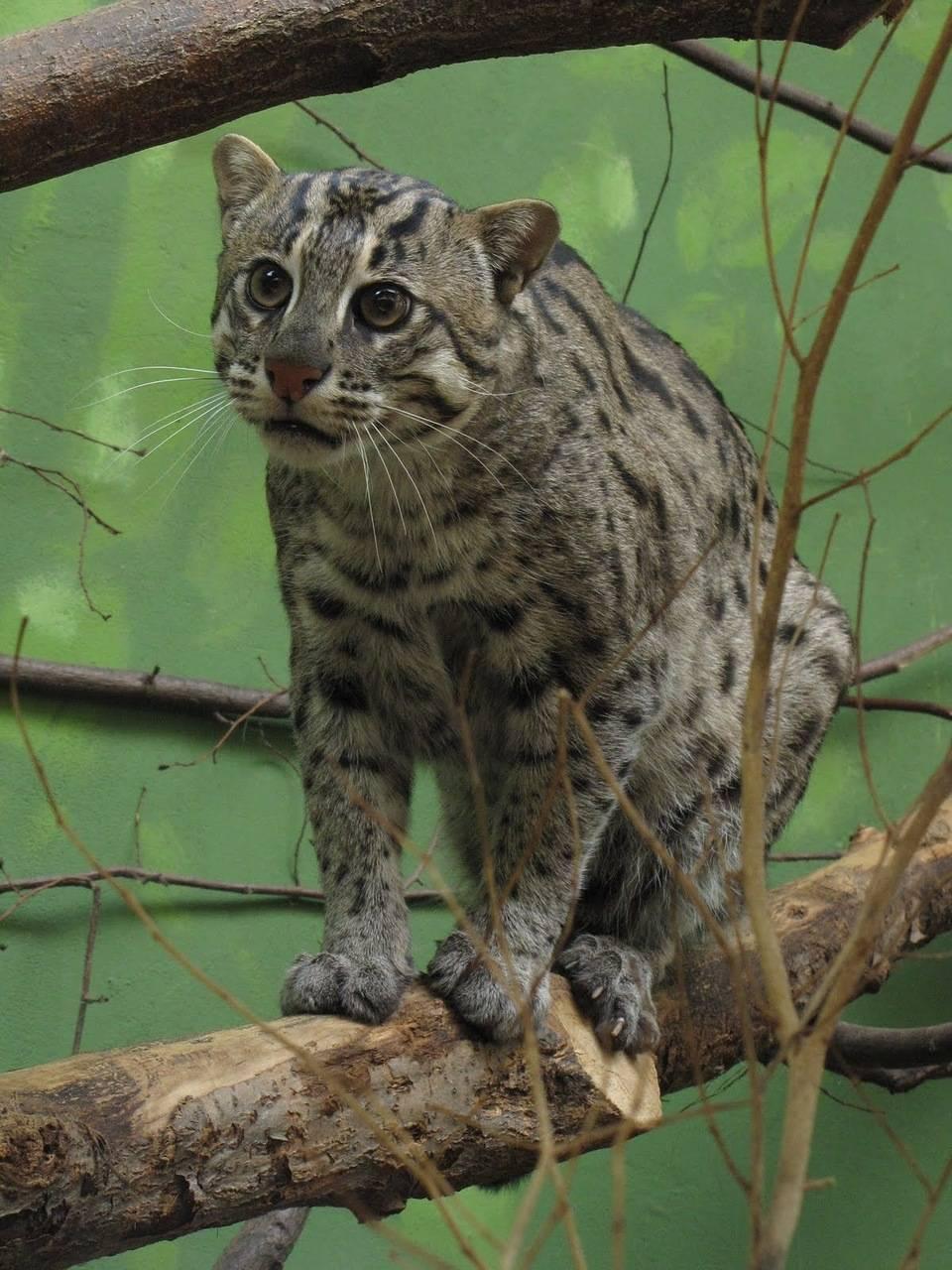 Виверовый кот-рыболов. великолепное редкое животное! » женский мир