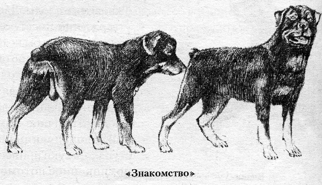 Вязка собак первый раз: случка такс и других пород собак, как правильно сводить собак первый раз