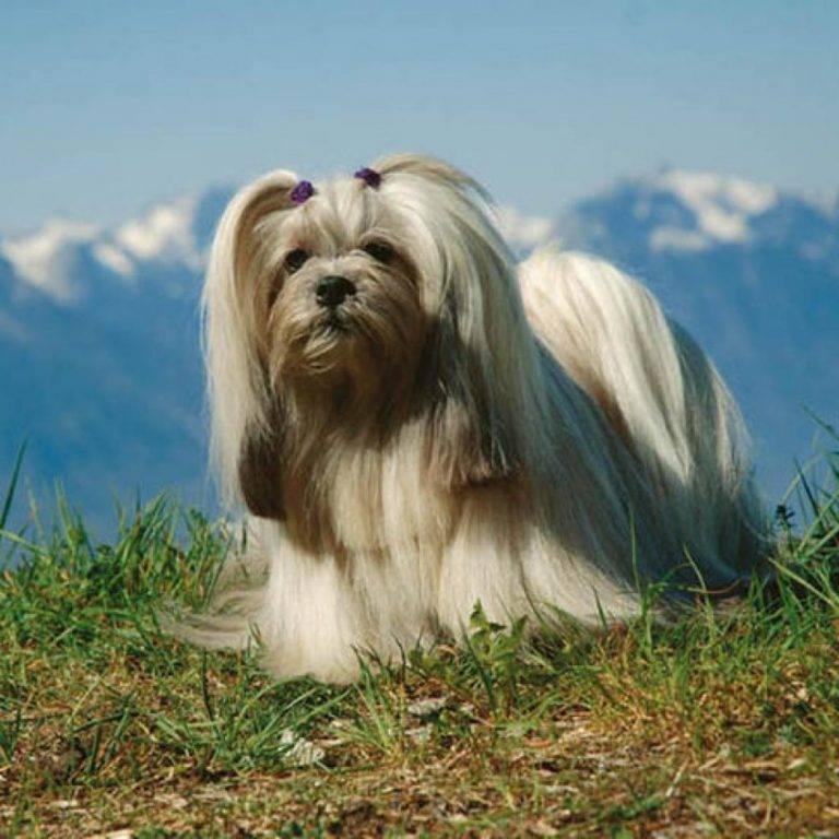 Лхаса апсо (лхасский апсо): фото породы собак, описание характера