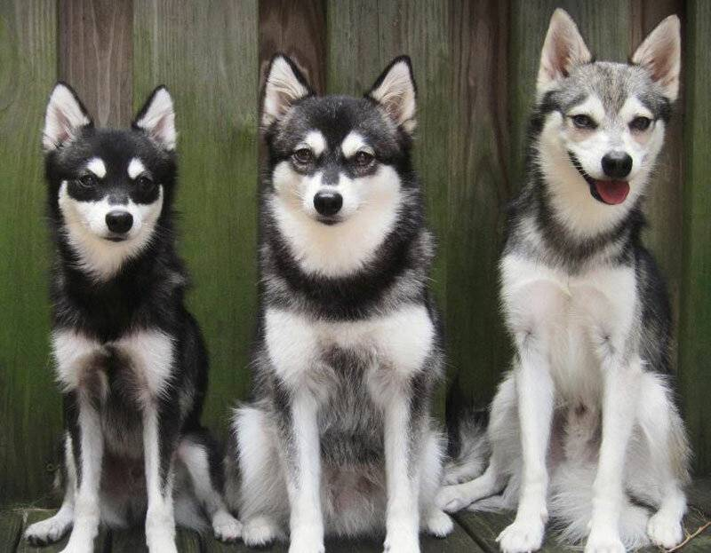 Отличия хаски и лайки: внешние особенности, различи по характеру, ка отличить щенят