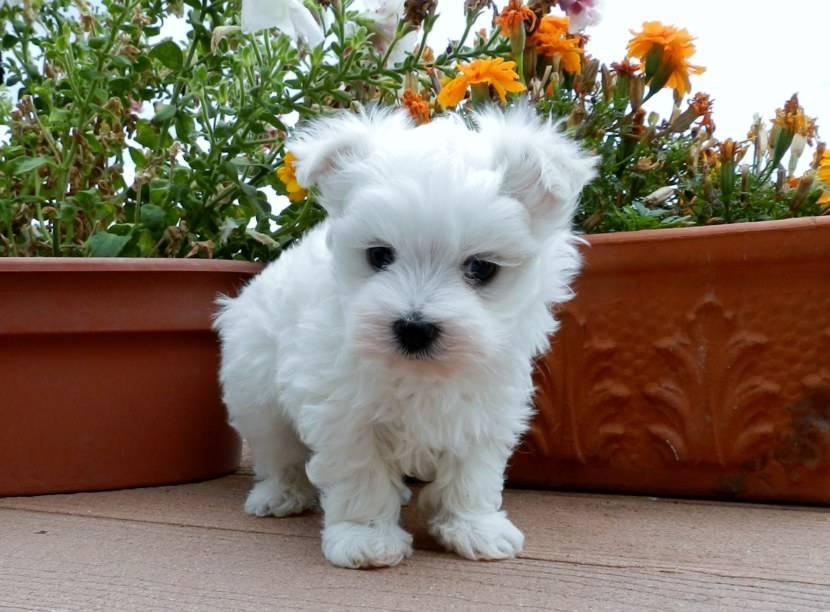 Породы маленьких пушистых собак с фото и кратким описанием