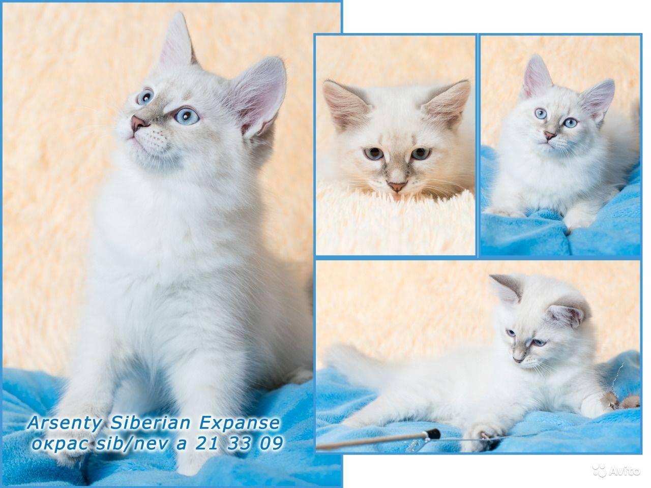 Сибирская кошка: описание внешности и характера породы, уход за питомцем и его содержание, выбор котёнка, фото и характеристика кота