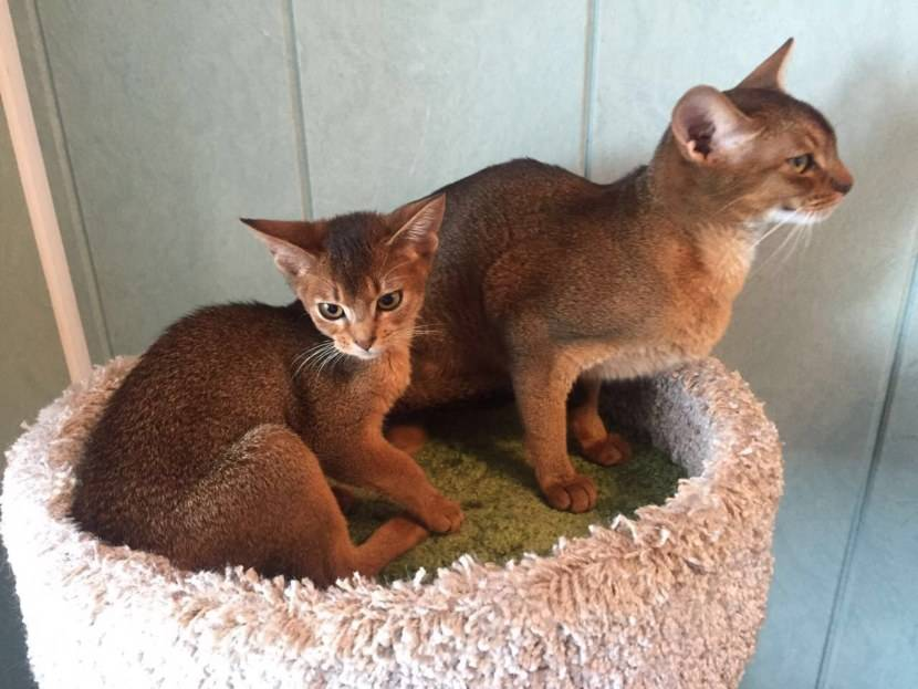 Абиссинская кошка - особенности, характер и болезни породы. содержание и уход за абиссинской кошкой – petadvisor