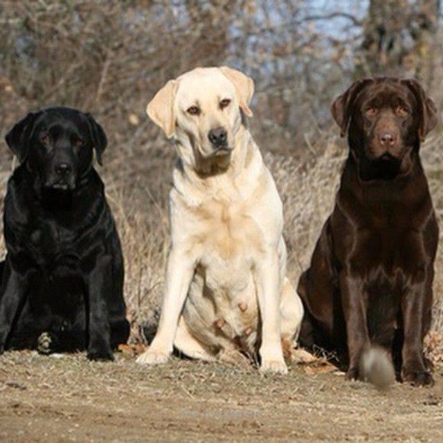 Характеристика собак породы золотистый (голден) ретривер с отзывами и фото