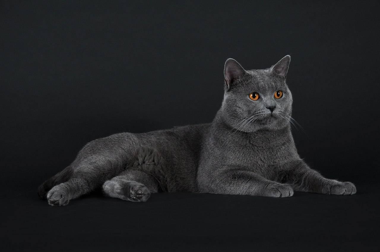 Картезианская кошка – шартрез