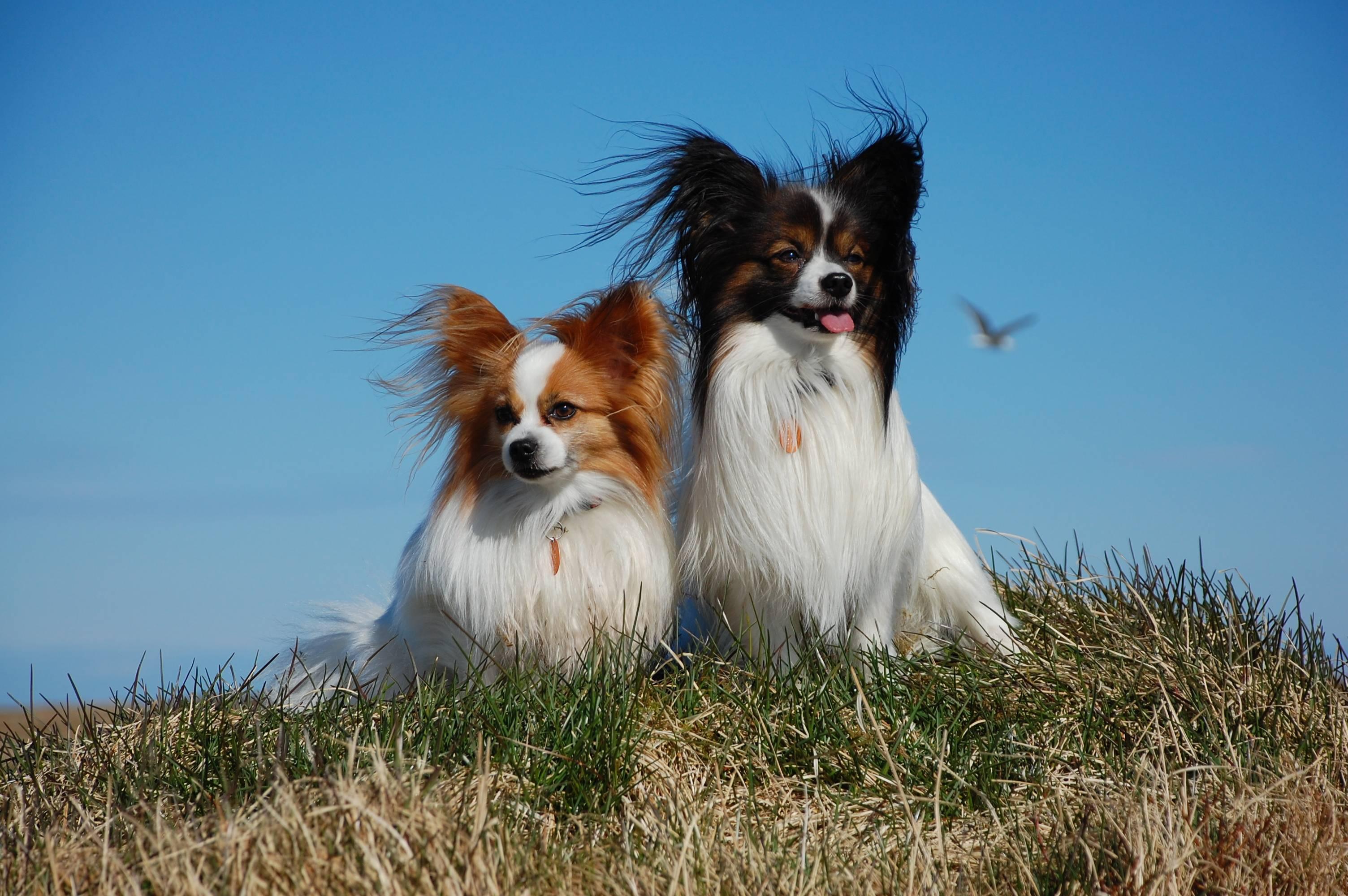 "Порода собак папильон: характер, здоровье, уход | блог ветклиники ""беланта"""