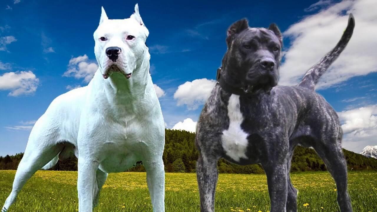 Какие бывают разновидности бойцовских собак: перечень самых сильных пород