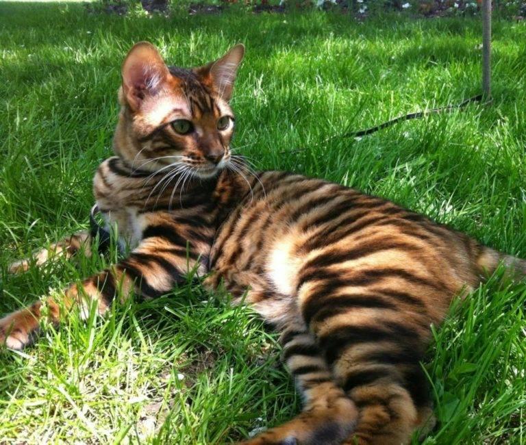 Порода тойгер – хищный котенок или ласковый тигренок